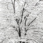 Snow Covered Branches, 2005