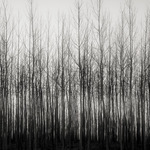 Early morning Poplars 2016