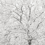 Oak and falling snow 2007